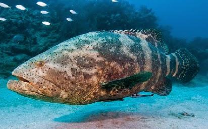 rahasia umpan,tips untuk mancing ikan,umpan ikan kerapu kolam,umpan ikan jenahak,umpan ikan siakap,comments kerapu,ikan kerapu terbaik,cara memancing ikan kerapu,jenis ikan kerapu,habitat ikan kerapu