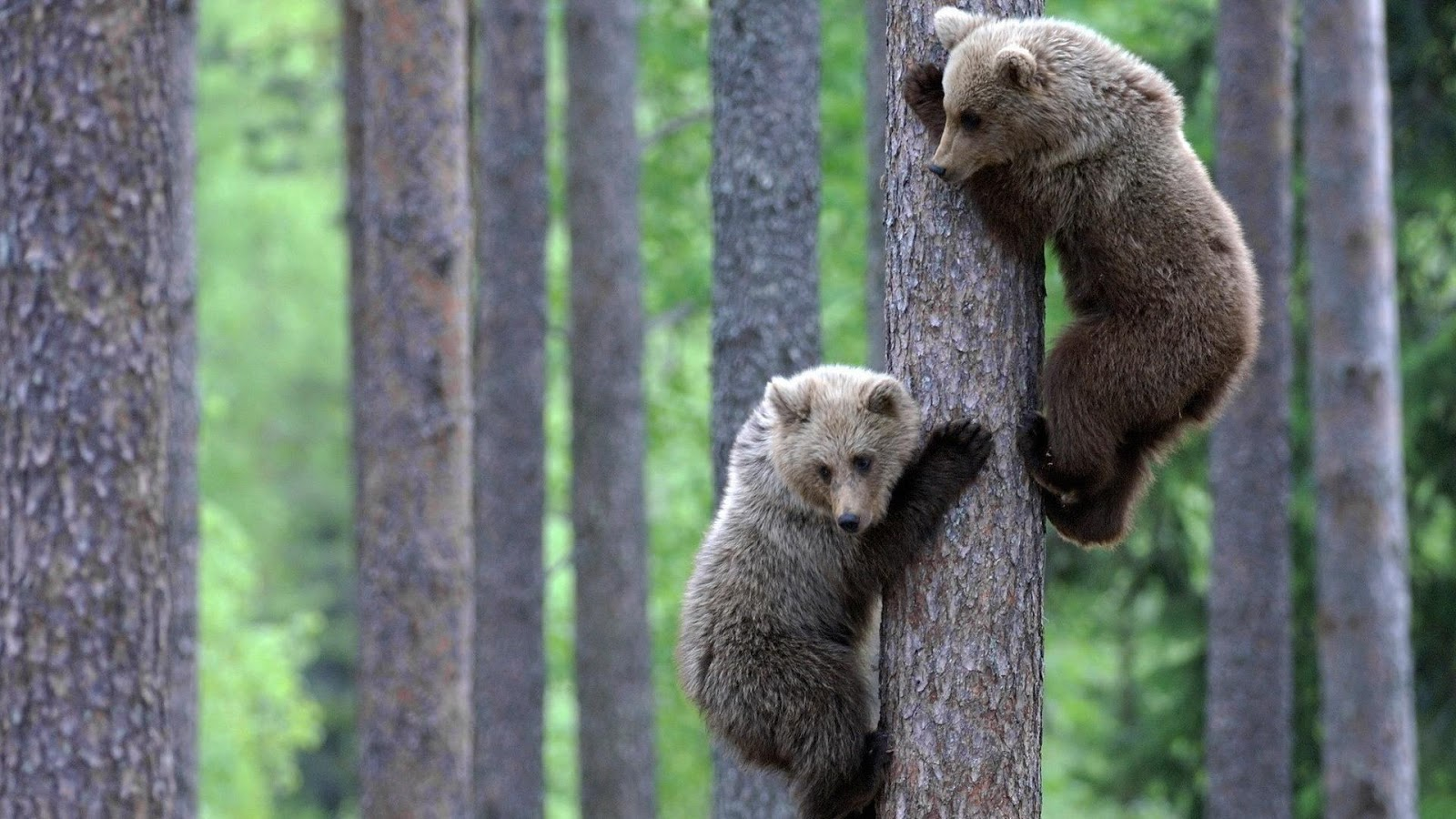 Bear Cubs Climbing Competitions
