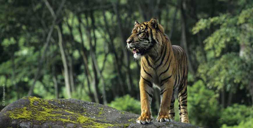 Perdagangan Harimau di Internet Makin Marak