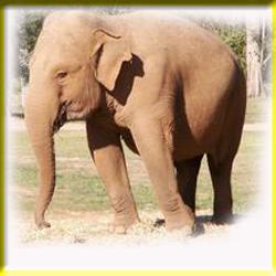 gajah_asia_3