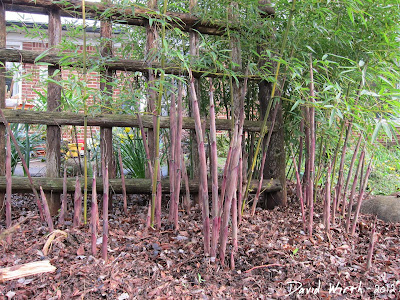 clump of shoots, bamboo, trees, spring, rhizomes