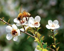 Comment utiliser le miel de manuka