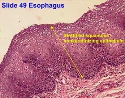Introducción al tejido epitelial