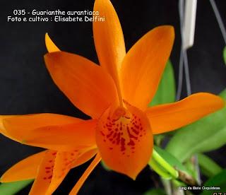Cattleya aurantiaca, Epidendrum aurantiacum,  Laelia aurantiaca, Amália aurantiaca,