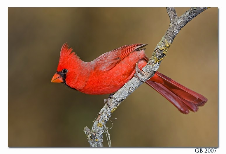 http://www.glennbartley.com/naturephotography/birds/NORTHERN%20CARDINAL.htm