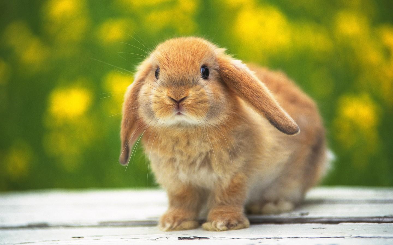 http://1.bp.blogspot.com/-tt3hf0MFTRc/T4672fp45pI/AAAAAAAACrA/kD50ICfqcSw/s1600/rabbit-wallpaper-hd-2.jpg