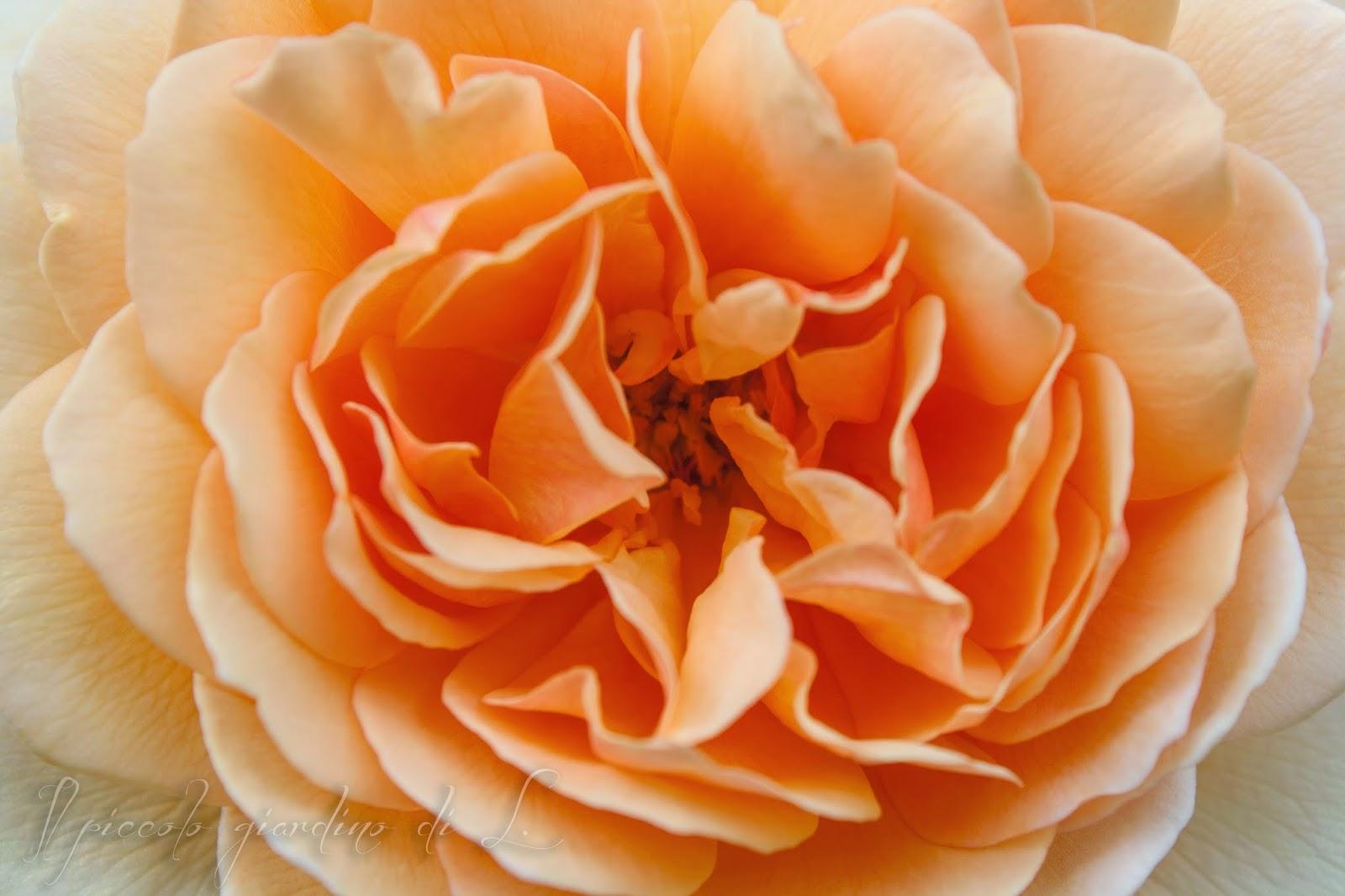 Il piccolo giardino di l la migliore rosa inglese di for Rosa inglese