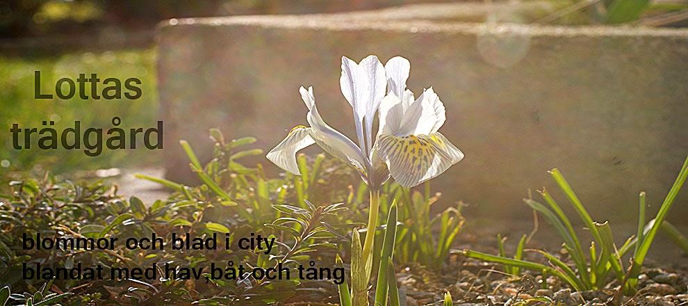 Lottas trädgård - blommor och blader i city, blandat med båt, hav och tång!