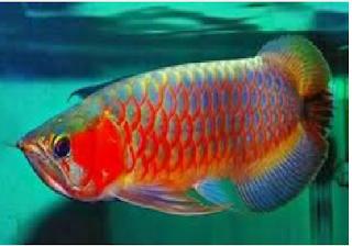Cara Budidaya Ikan Arwana Terlengkap