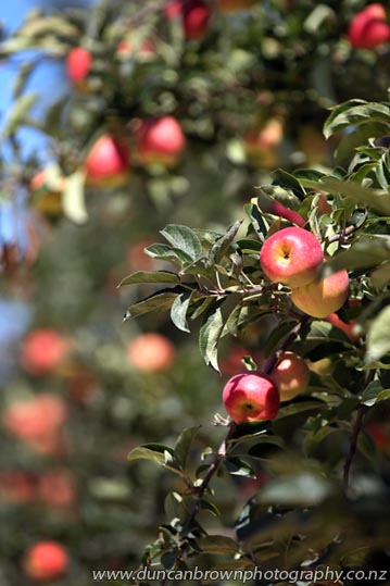 Apples on a tree in an orchard in Pakowhai Rd, Hastings photograph
