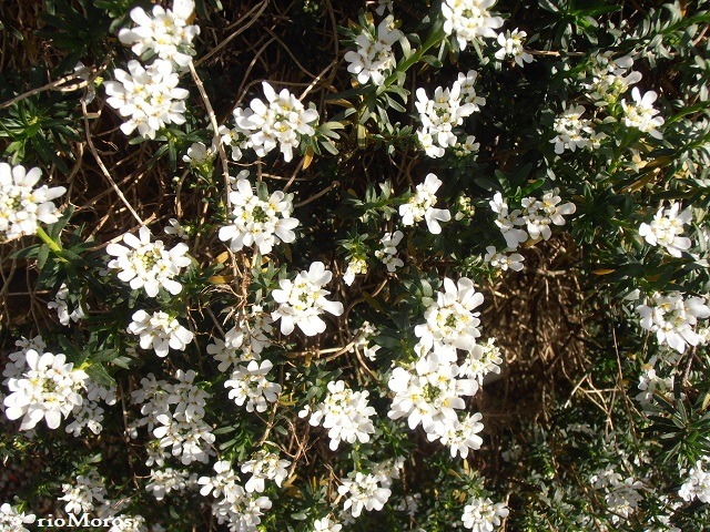 Carraspique blanco Iberis sempervirens