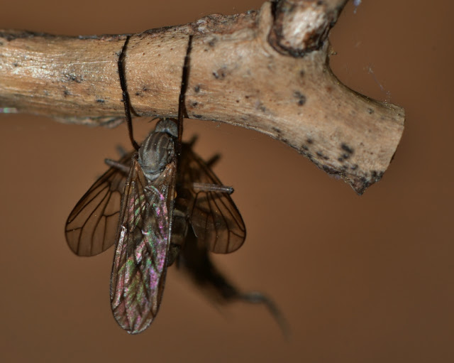 Pair of mating dance flies with nupital gift
