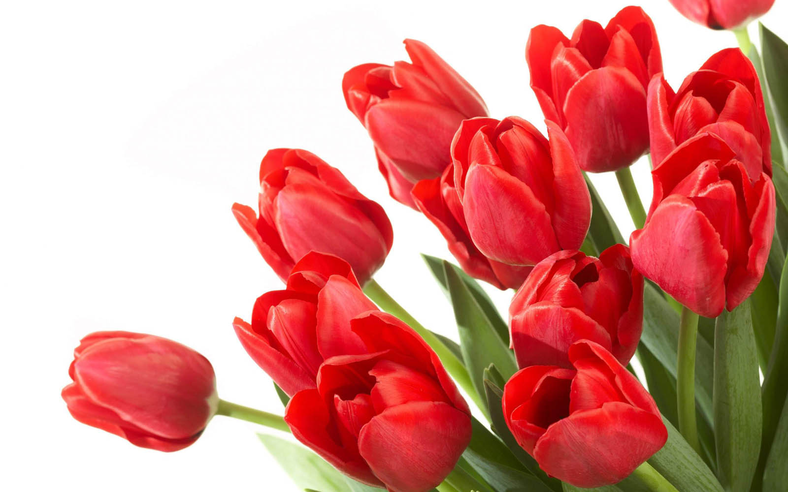 Tulip Wallpapers Hd Free Wallpaper