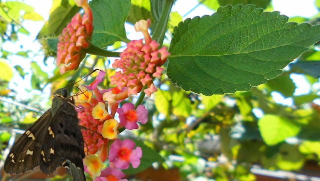 Flores de Lantana con Mariposa