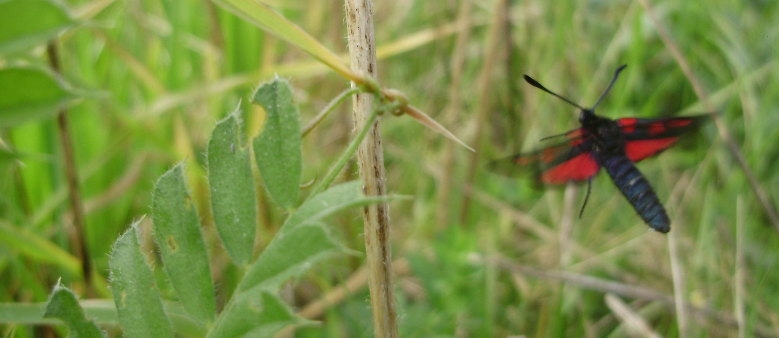 Zygaena trifolii en vuelo