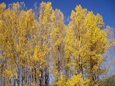 chopos otoñales con todas sus hojas amarillas