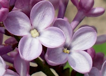Lilac flower colors