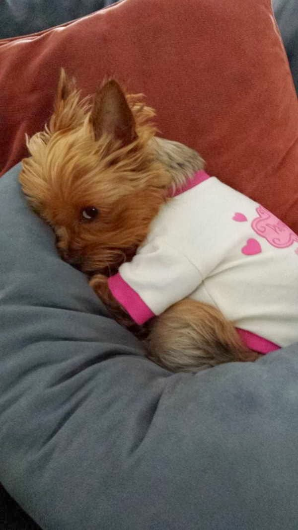 Cute dogs (50 pics), dog pictures, cute shy puppy wears shirt