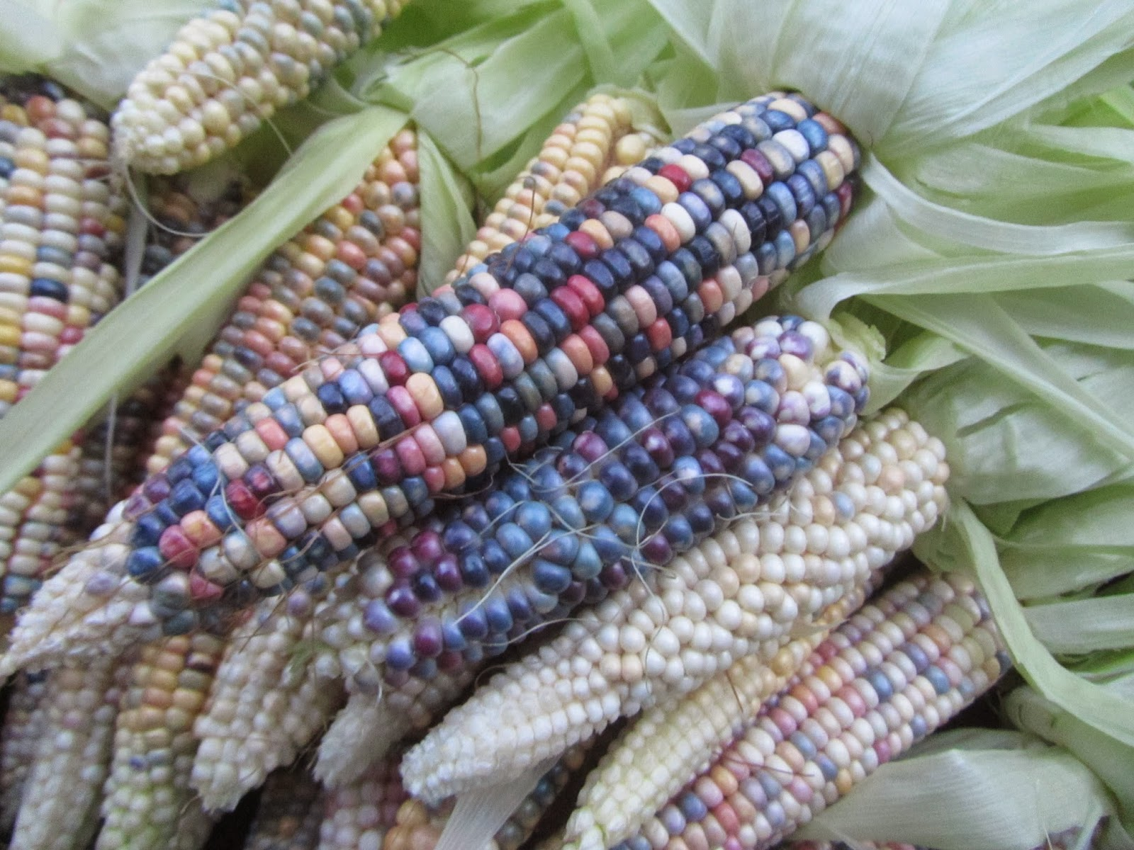 Glass Gem corn bunch