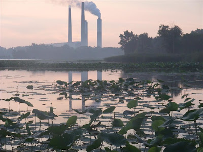 lotus plants by power plant, lake erie