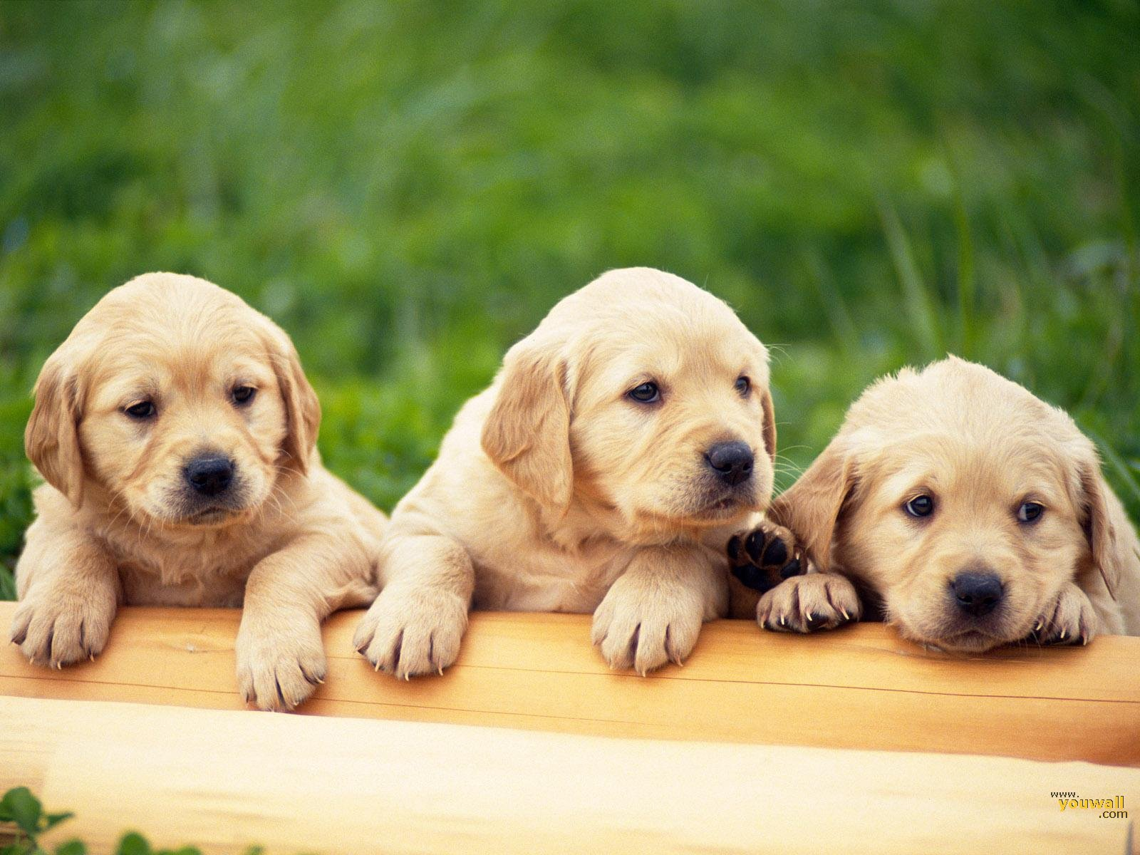 Free Wallpapers Dogs Wallpaper Dog Wallpaper