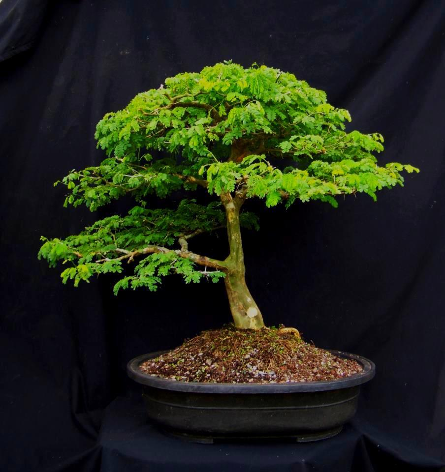 TODO BONSAI Ficha BRAZILIAN RAIN TREE
