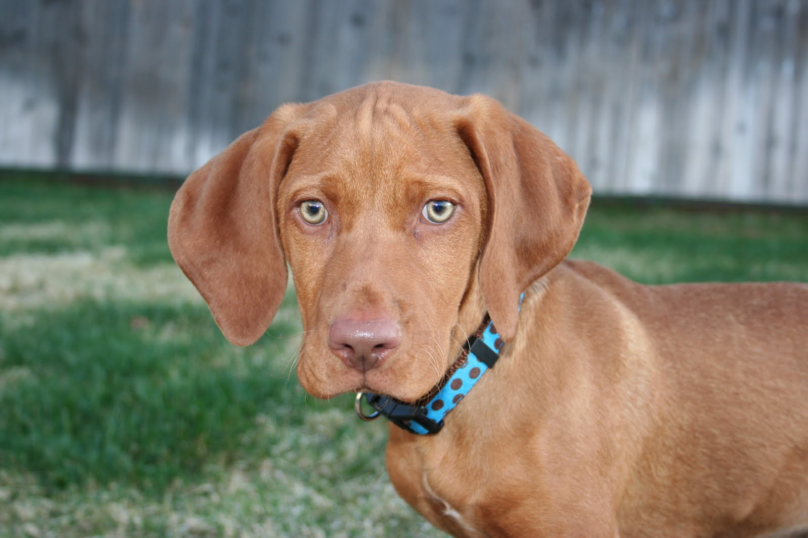 What Does The Dog Vizsla Look Like