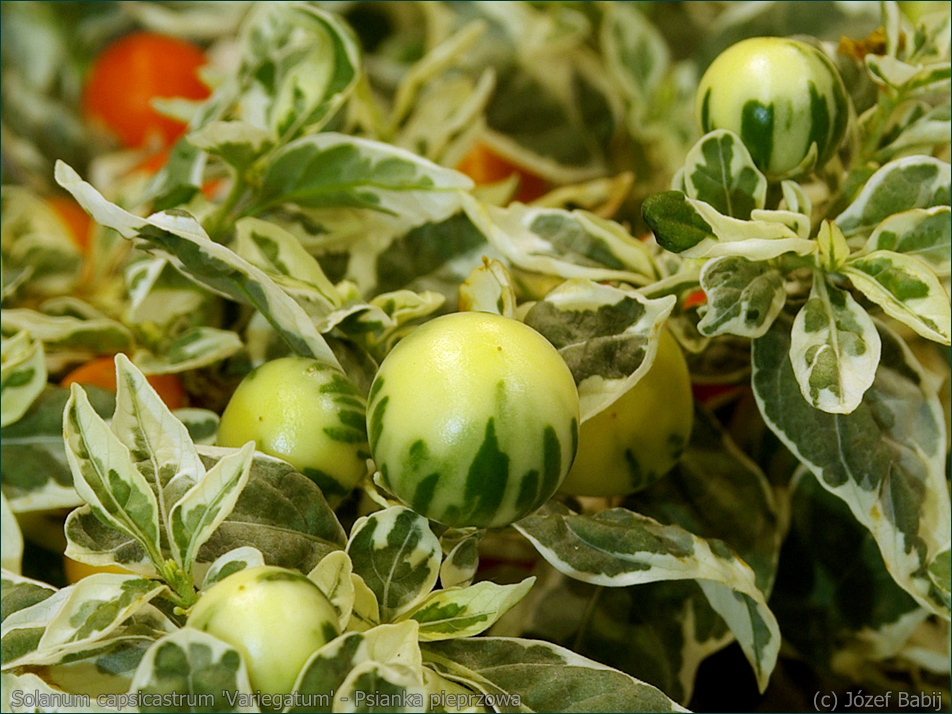 Solanum capsicastrum 'Variegatum' - Psianka pieprzowa, psianka paprykowa