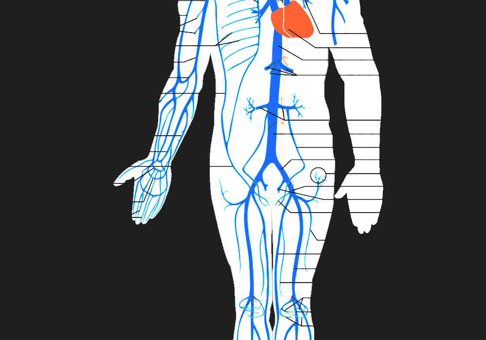 Vein Human Venous System