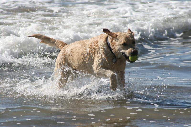 Yellow surf Labrador