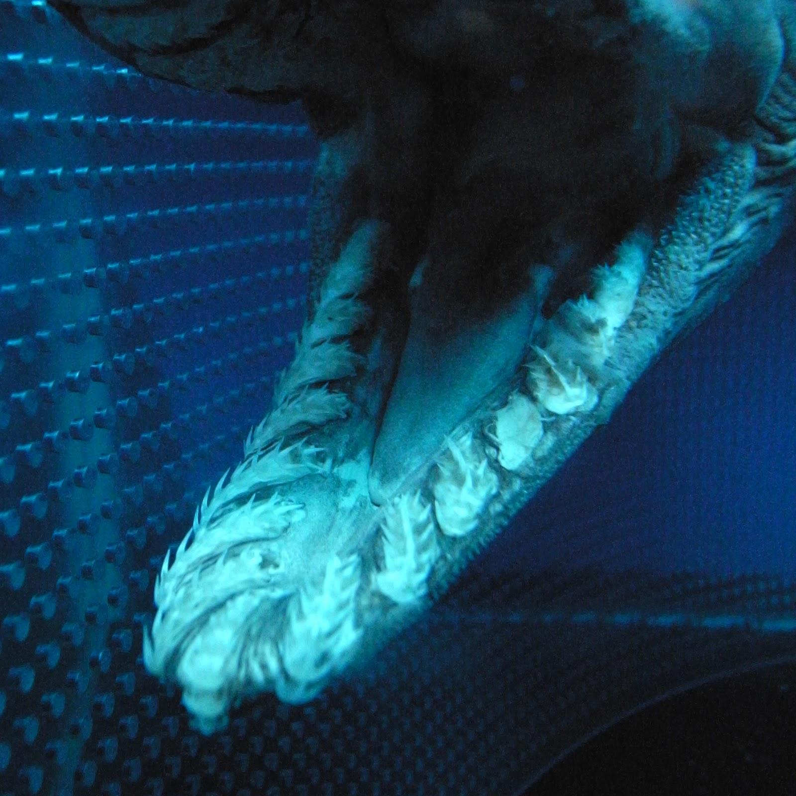 Frilled Shark Chlamydoselachus Anguineus Mouth