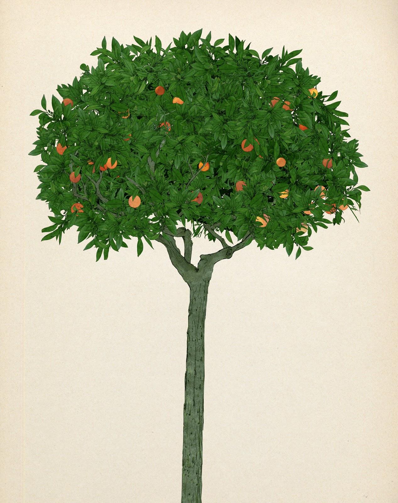 Naranjo,citricos, ornamental, dibujo