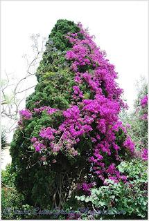Beautiful Bougainvillea Vines