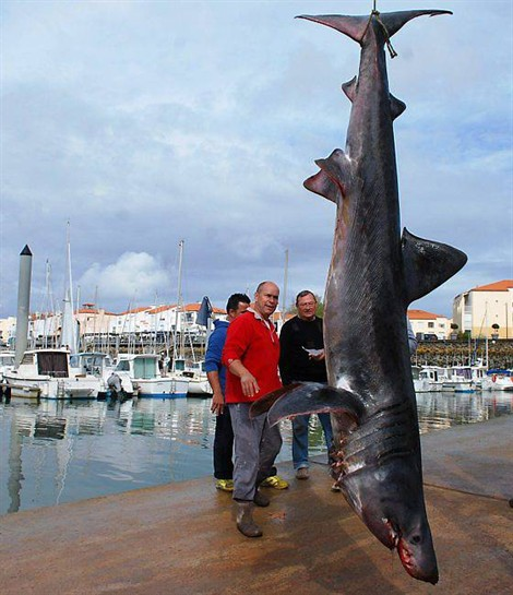 Mondo pesca news francia grosso squalo elefante for Grosso pesce di lago