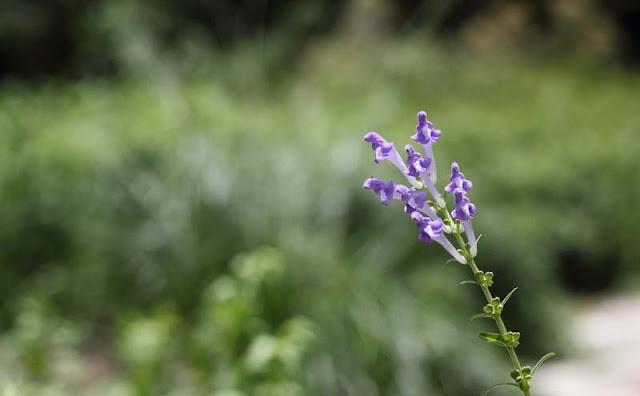 Baikal Skullcap Flowers Pictures