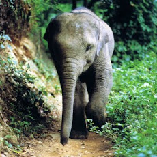 gambar gajah, foto gajah