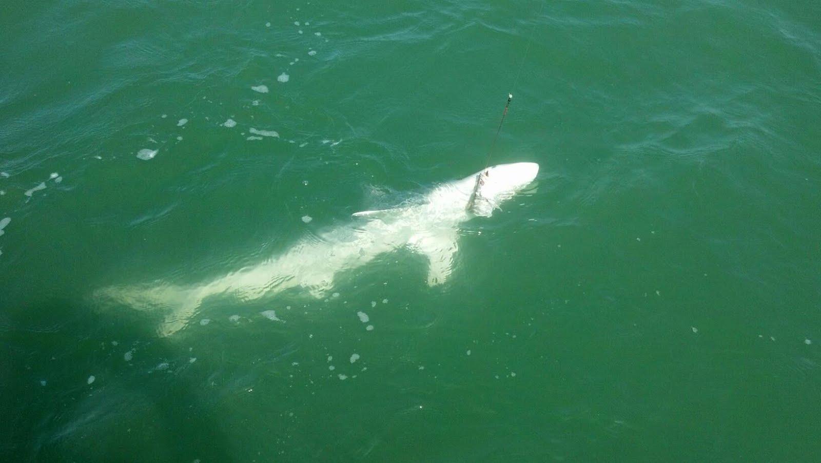 Galveston bay texas and sabine lake fishing reports 06 10 for Texas shark fishing