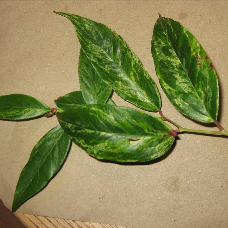 Fallopia japonica 'Variegata', broget japansk pileurt