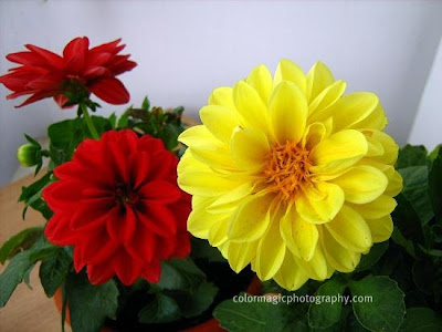 Dwarf Dahlias-yellow and red