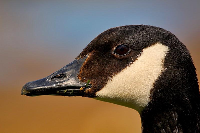 Fotos - Bilder - Tierfotos - Vögel - Gänse - Kanadagans