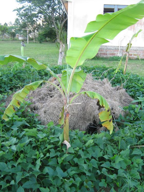 Permacultura - Círculo de Bananeiras