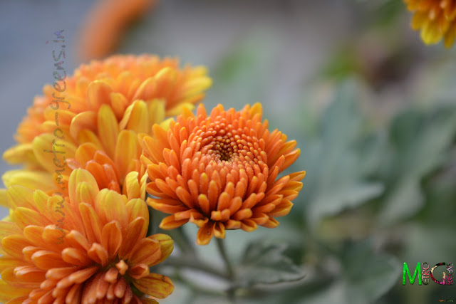 Metro Greens: Orange Chrysanthemum