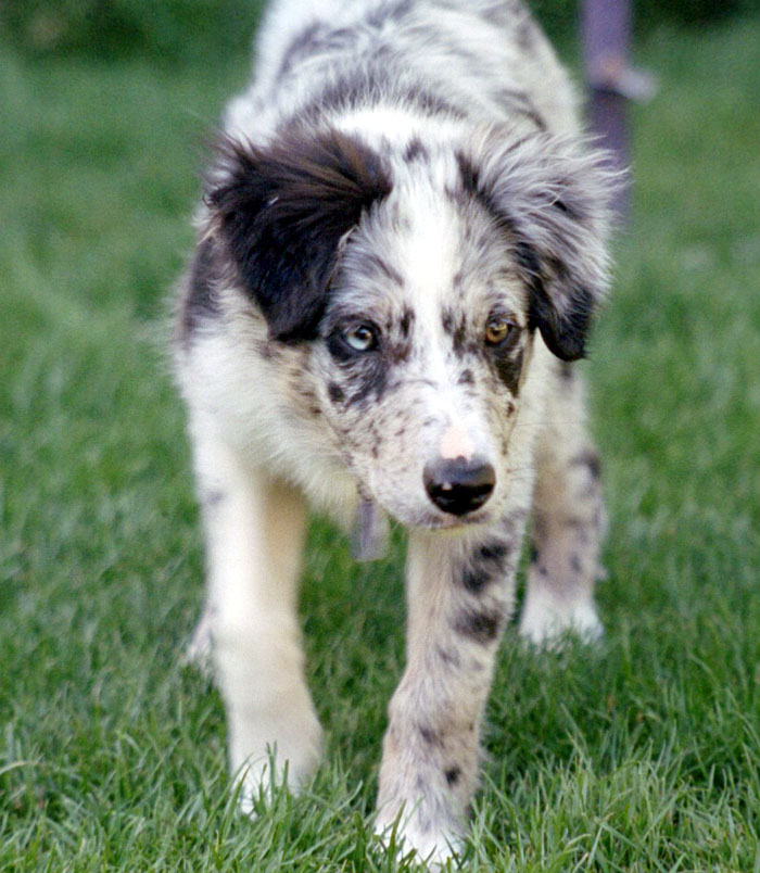 Cute Puppy Dogs Brown Border Collie Puppies