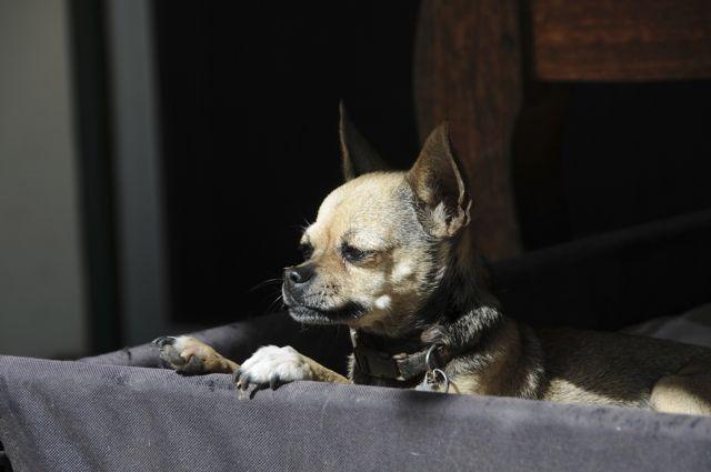 twinkie tiny dog teacup chihuahua a dog blog jun 2 2011. Black Bedroom Furniture Sets. Home Design Ideas