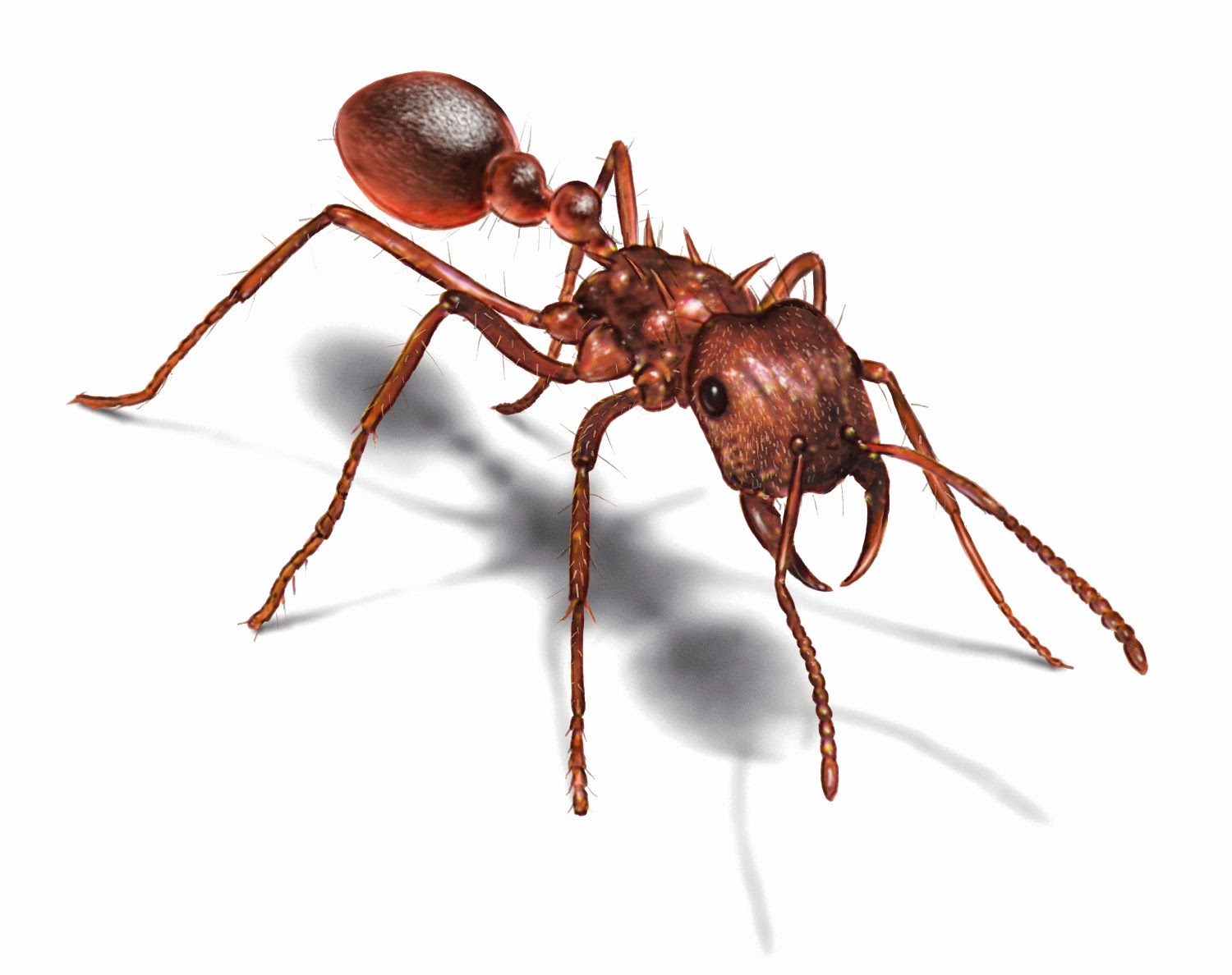 Trap Jaw Ant Facts 4 The Trap-jaw Ant Has The