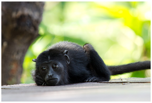 A photograph of a Black Howler Monkey taken in the Brazilian Amazon