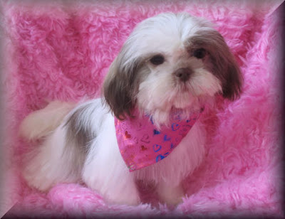 Shih Tzu Puppies Cute Photos