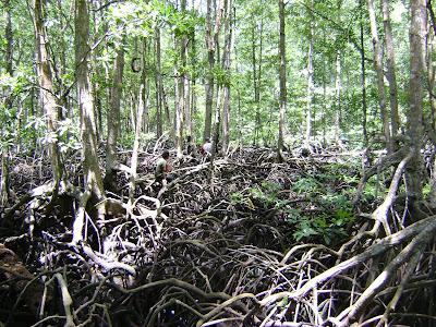 DSC00238 - Jenis Jenis Mangrove Dan Gambarnya