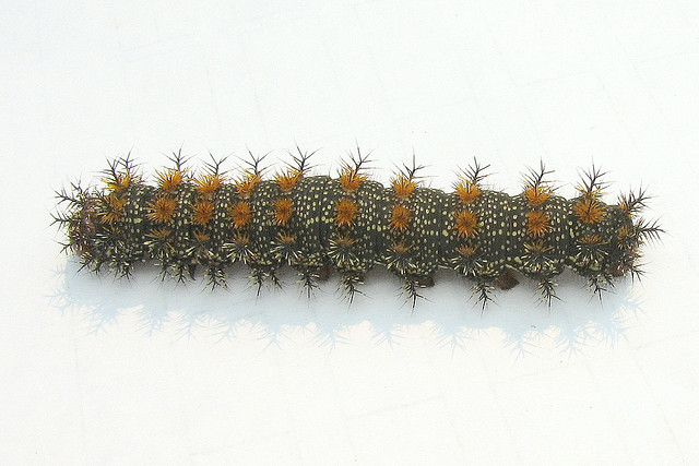 Caterpillars That Sting http://www.arkinspace.com/2011/05/stinging-caterpillars-of-united-states.html