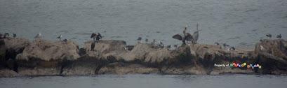 Breakwater-Pelicans, Cormorants, Seagulls